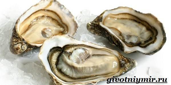 Устрица-моллюск-Образ-жизни-и-среда-обитания-устрицы-10