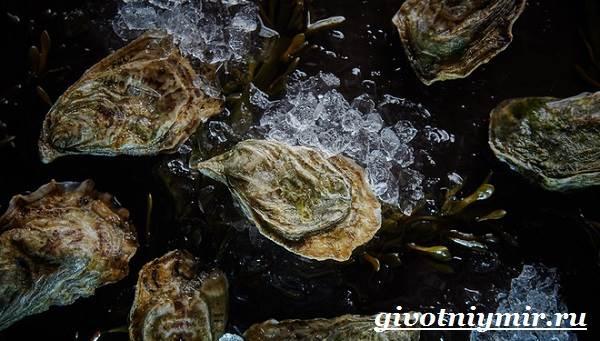 Устрица-моллюск-Образ-жизни-и-среда-обитания-устрицы-4