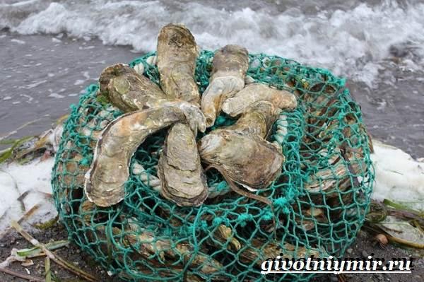 Устрица-моллюск-Образ-жизни-и-среда-обитания-устрицы-9