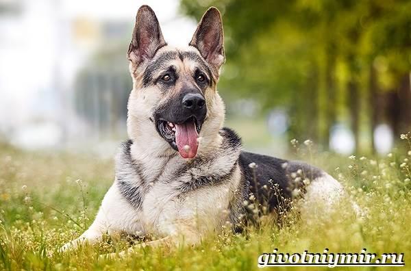 Вео-собака-Описание-особенности-уход-и-цена-собаки-вео-1