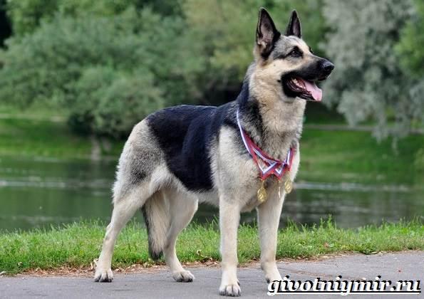Вео-собака-Описание-особенности-уход-и-цена-собаки-вео-2
