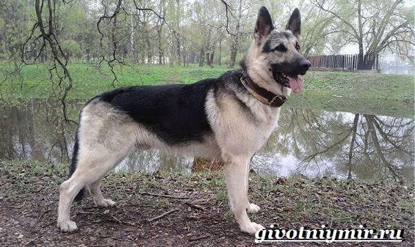 Вео-собака-Описание-особенности-уход-и-цена-собаки-вео-3