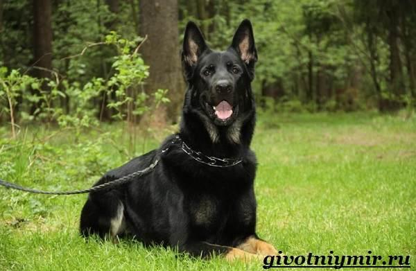 Вео-собака-Описание-особенности-уход-и-цена-собаки-вео-5