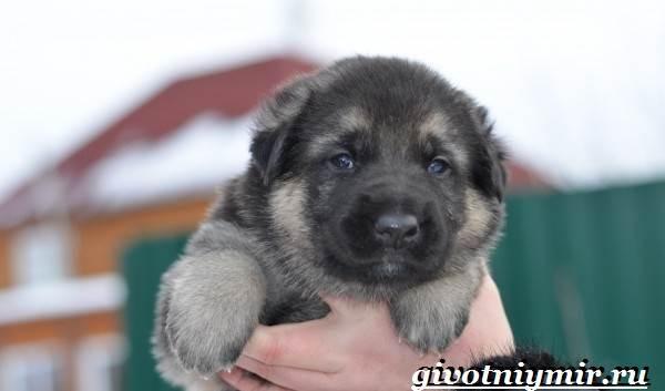 Вео-собака-Описание-особенности-уход-и-цена-собаки-вео-8