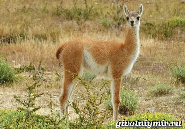Викунья-животное-Образ-жизни-и-среда-обитания-викуньи-1