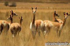 Викунья животное. Образ жизни и среда обитания викуньи