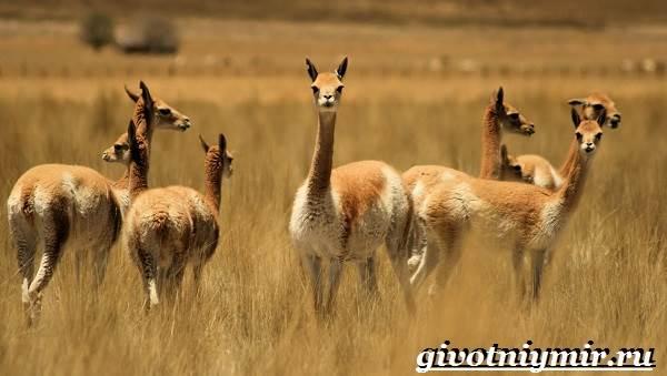 Викунья-животное-Образ-жизни-и-среда-обитания-викуньи-2