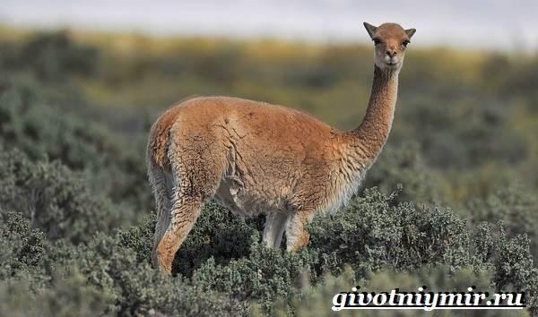 Викунья-животное-Образ-жизни-и-среда-обитания-викуньи-7