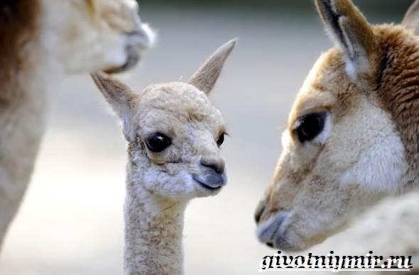 Викунья-животное-Образ-жизни-и-среда-обитания-викуньи-8