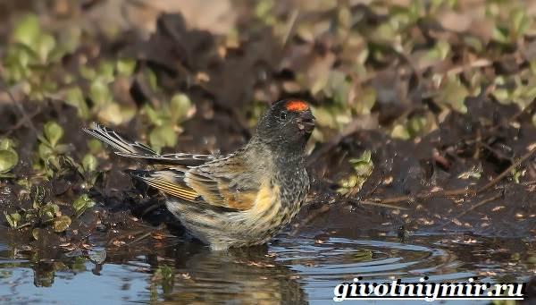 Вьюрок-птица-Образ-жизни-и-среда-обитания-вьюрка-10