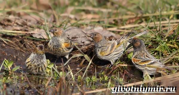 Вьюрок-птица-Образ-жизни-и-среда-обитания-вьюрка-11