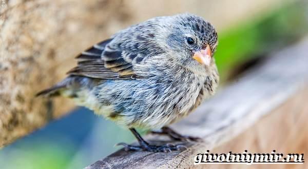Вьюрок-птица-Образ-жизни-и-среда-обитания-вьюрка-13