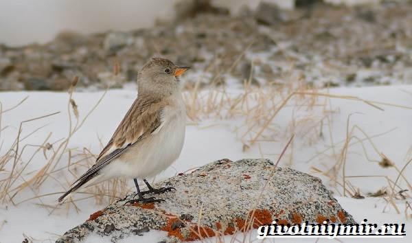 Вьюрок-птица-Образ-жизни-и-среда-обитания-вьюрка-3