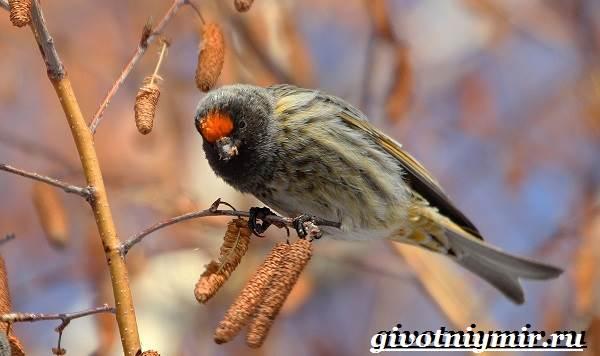 Вьюрок-птица-Образ-жизни-и-среда-обитания-вьюрка-4