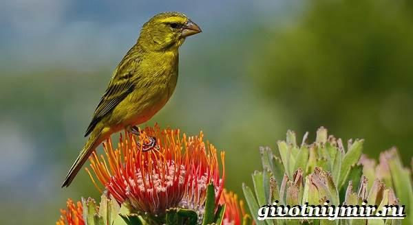 Вьюрок-птица-Образ-жизни-и-среда-обитания-вьюрка-6