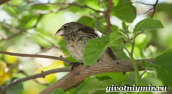 Вьюрок-птица-Образ-жизни-и-среда-обитания-вьюрка-7