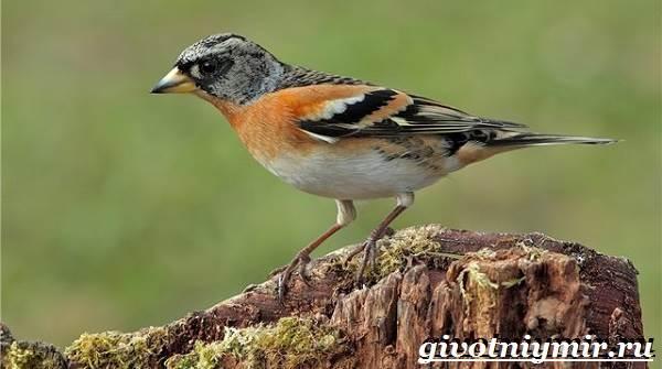 Вьюрок-птица-Образ-жизни-и-среда-обитания-вьюрка-8