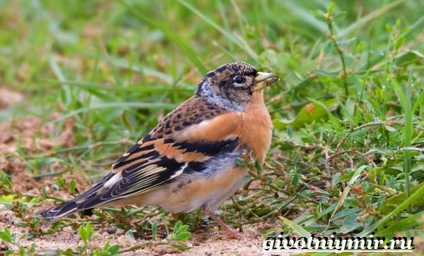 Вьюрок-птица-Образ-жизни-и-среда-обитания-вьюрка-9