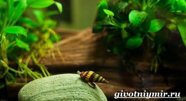 Хелена-улитка-Образ-жизни-и-среда-обитания-улитки-хелена-2