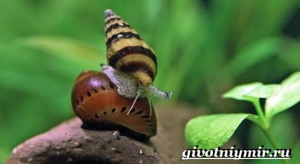 Хелена-улитка-Образ-жизни-и-среда-обитания-улитки-хелена-8