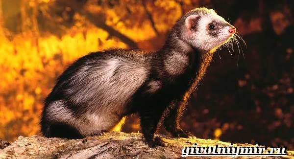Хонорик-хорёк-Образ-жизни-и-среда-обитания-хонорика-10