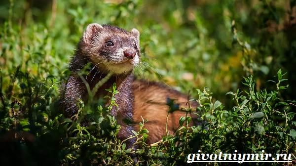 Хонорик-хорёк-Образ-жизни-и-среда-обитания-хонорика-4