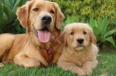 Ховаварт собака. Описание, особенности, уход и цена за породой ховаварт