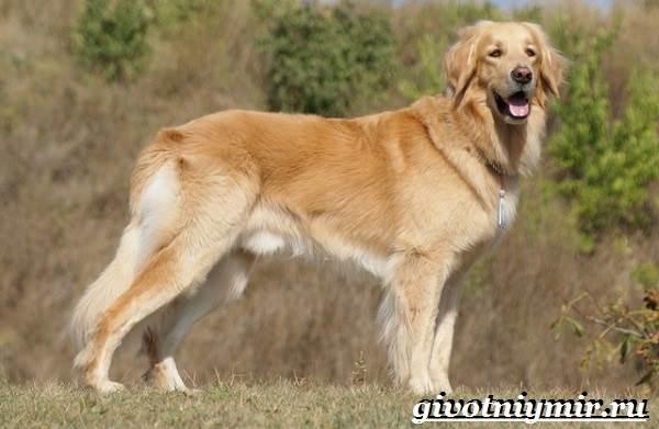 Ховаварт-собака-Описание-особенности-уход-и-цена-за-породой-ховаварт-2