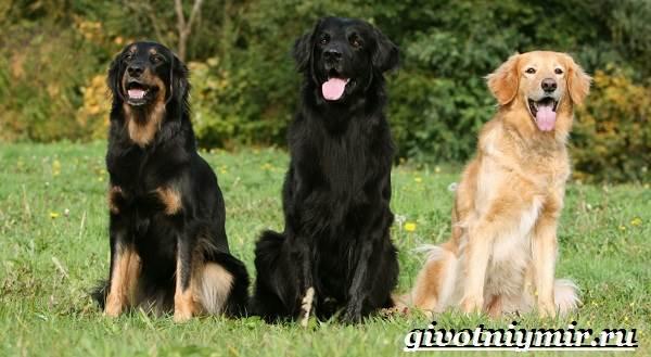 Ховаварт-собака-Описание-особенности-уход-и-цена-за-породой-ховаварт-3