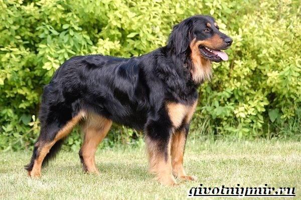 Ховаварт-собака-Описание-особенности-уход-и-цена-за-породой-ховаварт-4