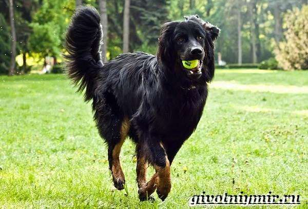Ховаварт-собака-Описание-особенности-уход-и-цена-за-породой-ховаварт-5