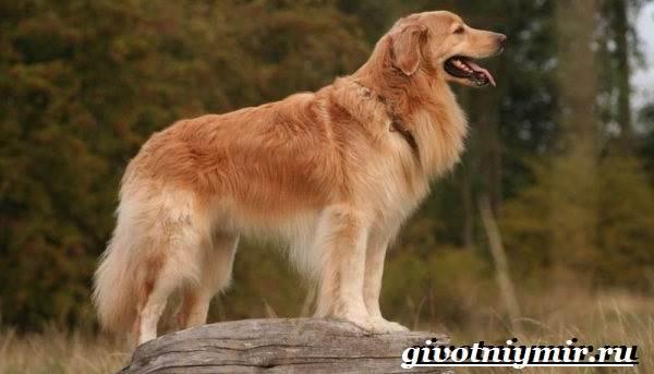 Ховаварт-собака-Описание-особенности-уход-и-цена-за-породой-ховаварт-6
