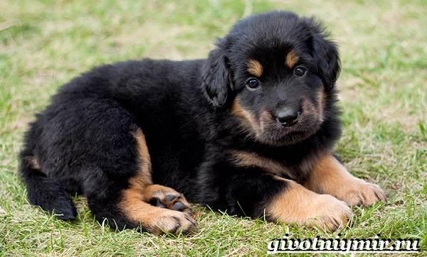 Ховаварт-собака-Описание-особенности-уход-и-цена-за-породой-ховаварт-7