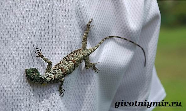 Ящерица-дракон-Образ-жизни-и-среда-обитания-ящерицы-дракон-5