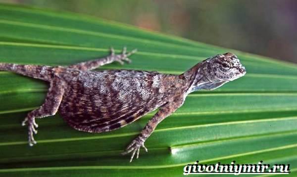 Ящерица-дракон-Образ-жизни-и-среда-обитания-ящерицы-дракон-6
