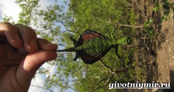 Ящерица-дракон-Образ-жизни-и-среда-обитания-ящерицы-дракон-7