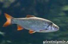 Язь рыба. Образ жизни и среда обитания рыбы язь