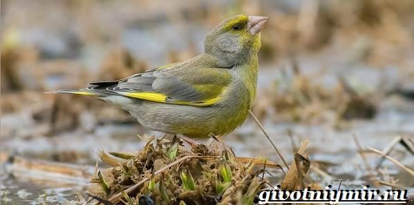 Зеленушка-птица-Образ-жизни-и-среда-обитания-птицы-зеленушки-1