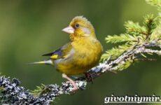 Зеленушка птица. Образ жизни и среда обитания птицы зеленушки