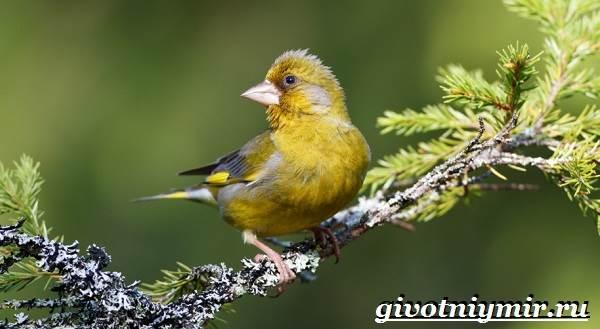 Зеленушка-птица-Образ-жизни-и-среда-обитания-птицы-зеленушки-2