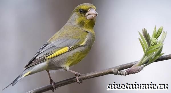 Зеленушка-птица-Образ-жизни-и-среда-обитания-птицы-зеленушки-3