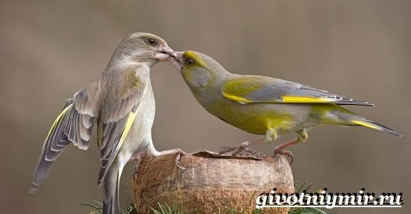Зеленушка-птица-Образ-жизни-и-среда-обитания-птицы-зеленушки-4