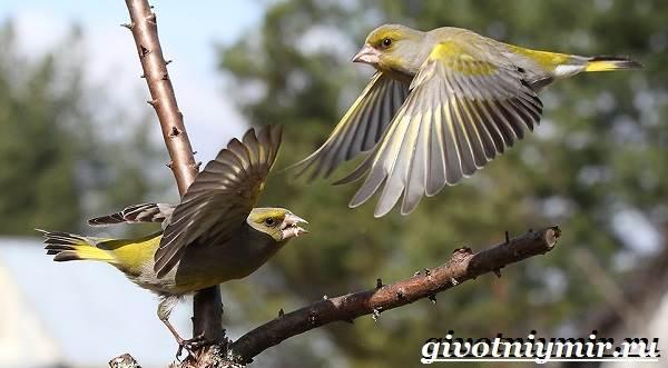 Зеленушка-птица-Образ-жизни-и-среда-обитания-птицы-зеленушки-5