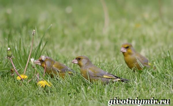 Зеленушка-птица-Образ-жизни-и-среда-обитания-птицы-зеленушки-6