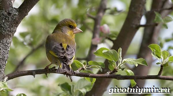 Зеленушка-птица-Образ-жизни-и-среда-обитания-птицы-зеленушки-8