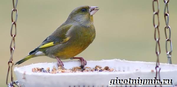Зеленушка-птица-Образ-жизни-и-среда-обитания-птицы-зеленушки-9
