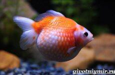 Золотая рыбка аквариумная. Описание, особенности, содержание и цена золотой рыбки