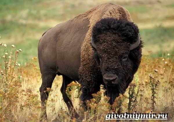 Зубр-животное-Образ-жизни-и-среда-обитания-зубра-2