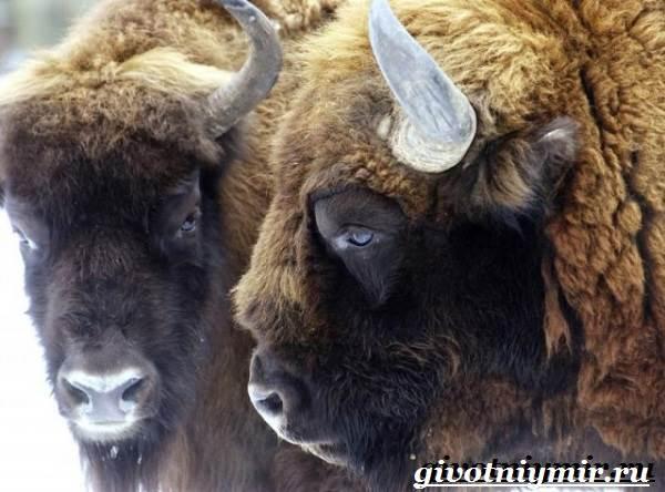 Зубр-животное-Образ-жизни-и-среда-обитания-зубра-3