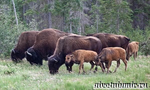 Зубр-животное-Образ-жизни-и-среда-обитания-зубра-5